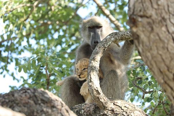Африканский фотограф снял, как бабуин бережно несет львенка. И это точь-в-точь знаменитая сцена из «Короля Льва»! Правда, по словам фотографа, который снимает дикую природу много лет, скорее