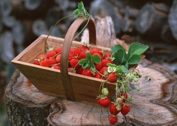 растим землянику дома круглый год для садоводов представляет особый интерес ремонтантная, или непрерывно плодоносящая, земляника. если вы не имеете садового участка или там не окажется
