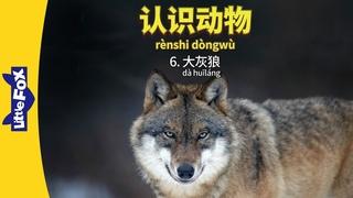 Meet the Animals 6: Gray Wolf (认识动物 6:大灰狼) | Animals | Chinese | By Little Fox