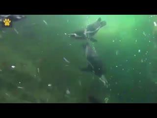 Пингвины в Московском зоопарке выходят из самоизоляции