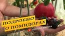 Все этапы, подробно, выращивания томатов.