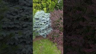 Сосна, голубая ель и барбарис - ландшафтные композиции