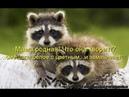 Веселые картинки. Смешные приколы про енотов.