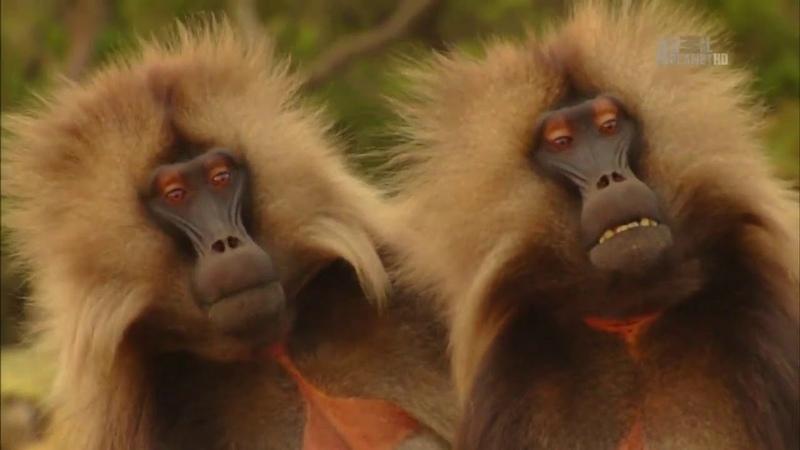 В дебрях Африки Эфиопия Дикая природа Африки Док фильм Nat Geo Wild