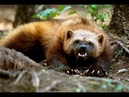 РОСОМАХА атакует волка, пуму, медведя и охотничьих собак. 2020