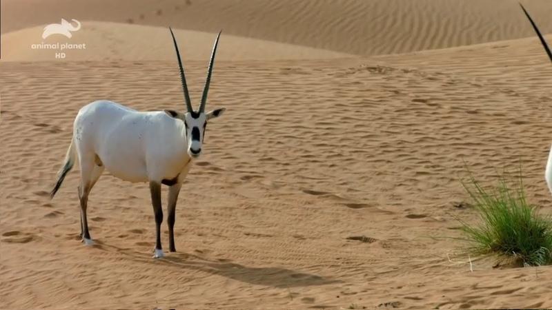 Животный мир Дубая Wild Planet HD Дикая природа Арабских Эмиратов