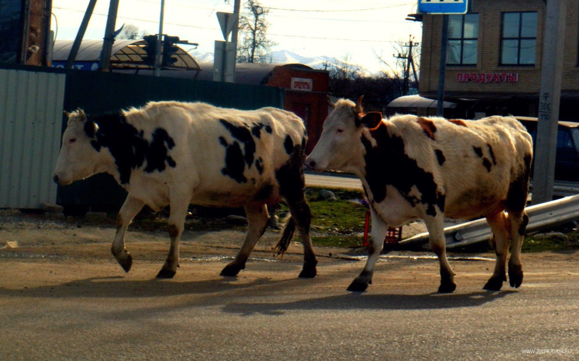 Какие меры предпримут власти КЧР для решения проблемы бесхозных животных на дорогах