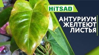 Ужас Желтеют Листья Антуриума ✔️ Как лечить комнатные растения ✔️ Советы от Хитсад ТВ