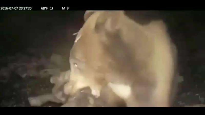 Самка бурого медведя атакует диких свиней