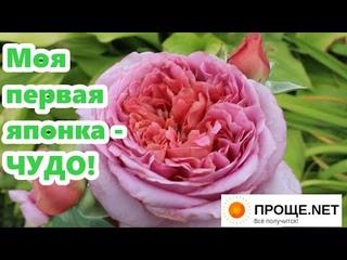 """Ответ про золу. Моя первая японская роза 🌹 Роби а ля Франциаз - """"Французское платье"""" - необычно!"""