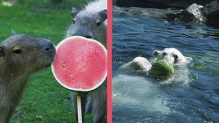 Welttag der Wassermelone bei Finja und den Wasserschweinen I Tiergarten Schönbrunn