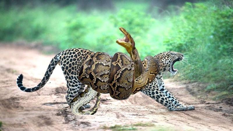 Ягуар против Анаконды Невероятная схватка охотник одиночка Ягуар в деле