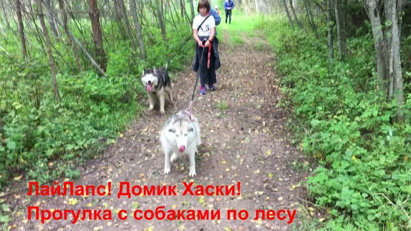 Прогулка с хаски по лесу. В собаке собрано все лучшее, что есть у человека.