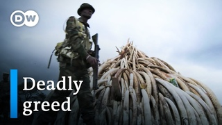 The ivory trade – exploiting elephants and mammoths | DW Documentary