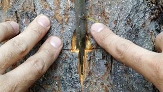 Прививка на ствол Старого Дерева Летом // Grafting on the trunk of an old tree in summer