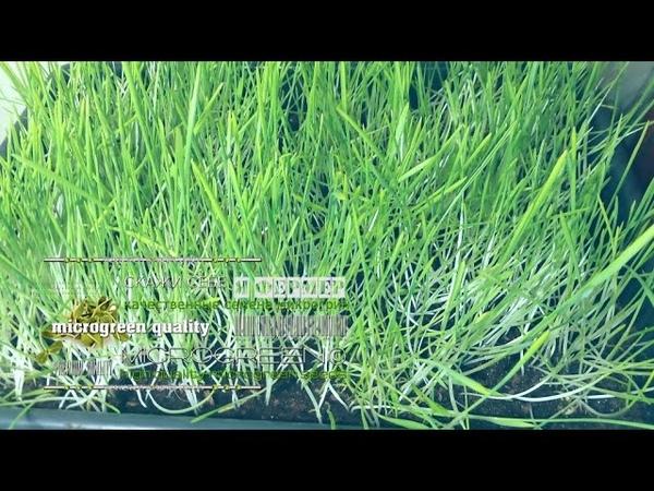 Микрозелень пшеницы овса купить в Херсоне ☘ MICROGREEN© микрогрин микрозеленьхерсон