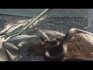 Попытка побить рекорд по количеству рыбки или по уклейке на р. Десна!!!???