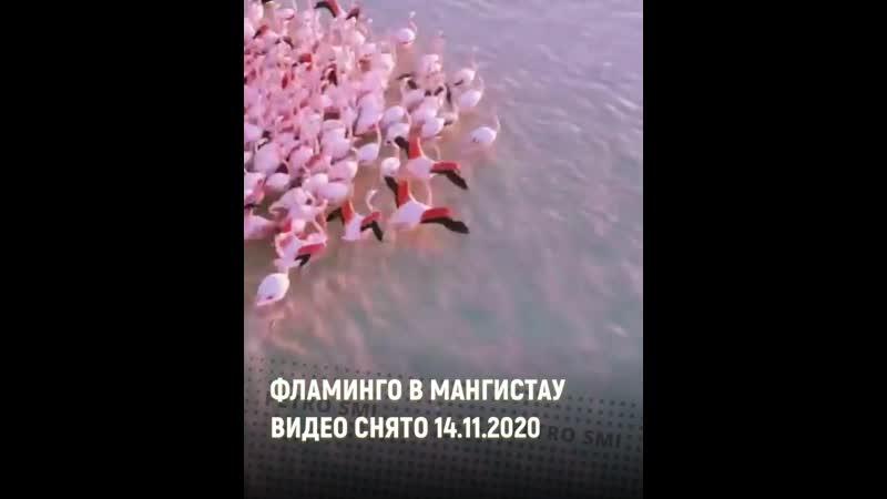 Невероятно красивое видео с Фламинго у берегов Актау к просмотру 🦩