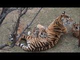 Тигрица Фрида отбивается от своих малышей .Тайган.Крым.