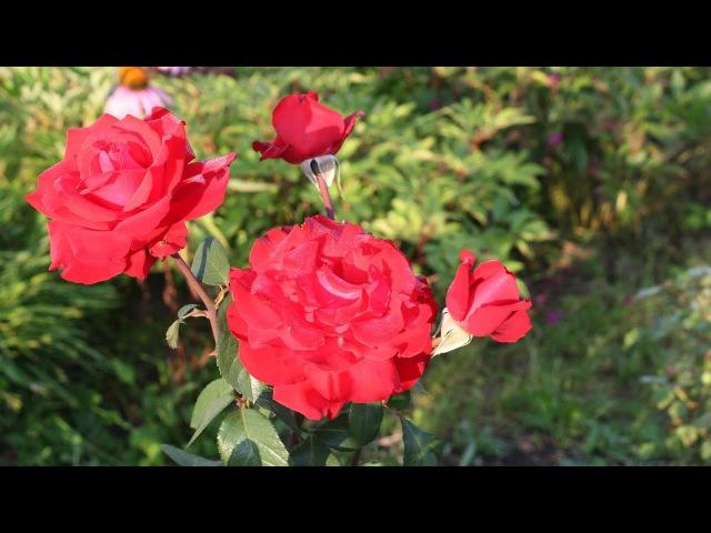 Как укрывать розы. Советы Елены Иващенко