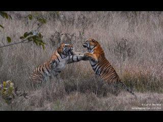 Два самца тигра дерутся за территорию