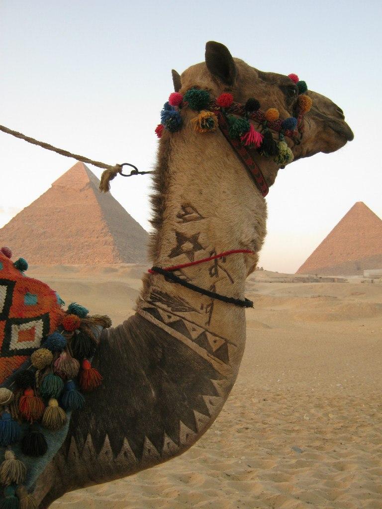 пирамид Гизы верблюд в качестве такси-рикши