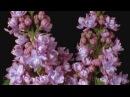 Как распускаются разные цветы-КРАСОТА!.mp4