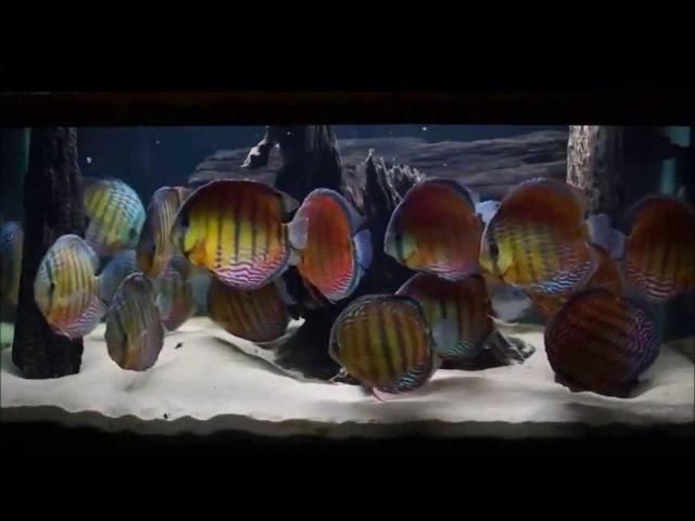 Wild discus aquarıum
