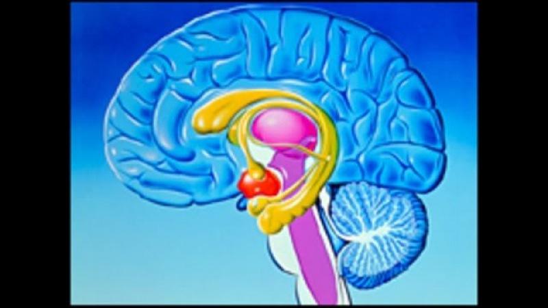 Лимбическая Система Мозга|Limbicheskaja Sistema Mozga