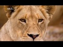Суперхищники Лев National Geographic