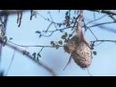 Гнездо синицы ремез