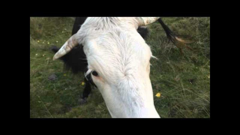 Знайомтеся - майже говірка і весела корова по дорозі до Лади на Верховинщині [Тарас Гладкий]