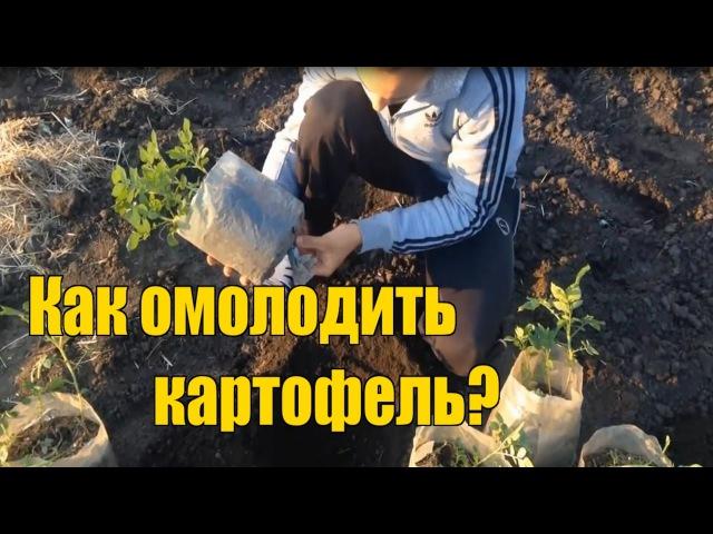 Выращивание картофеля Идеальный посадочный материал Оздоровление ростками