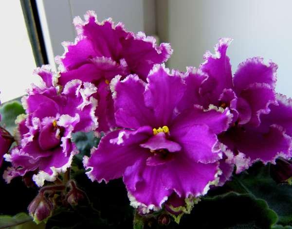 фиалка ек малахитовая орхидея фото телеведущая снимок