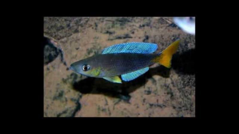 Cyprichromis leptosoma Karilani WC group - PISCES