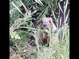 Сурок-байбак в естественной среде обитания