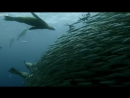 Sardine Feeding Frenzy: Whale, Shark, Dolphin and Sea Lions. The Hunt.