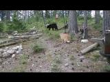 Охотничий кот, страшнее зверя нет (охота в Крыму)