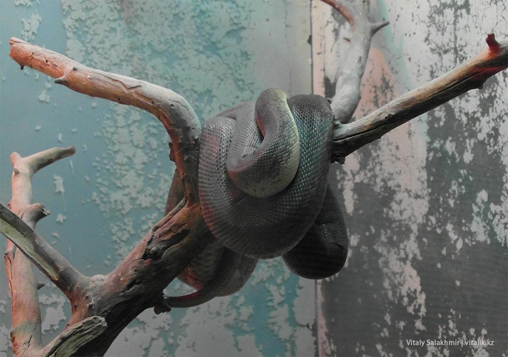 Индонезийский водяной питон, зоопарк Алматы 2018