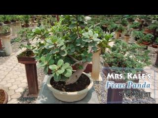 Ficus Bonsai, Genus, benghalensis,  Virens, Panda, Ginseng.
