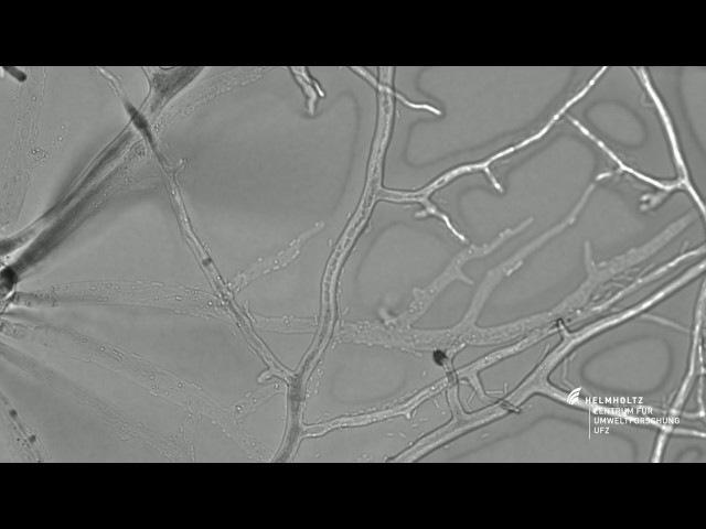 Bacteria on the 'Fungal Highway' Pseudomonas putida moving along hyphae of Cunninghamella elegans