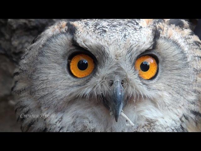 Проект по восстановлению генофонда Алтайского балобана