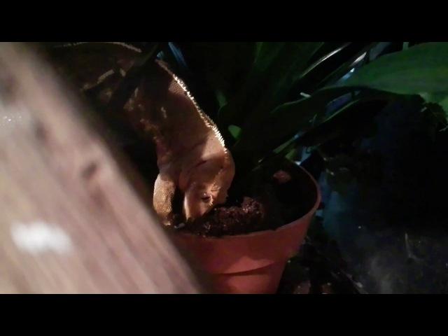 Самка реснитчатого бананоеда готовится к кладке копает землю