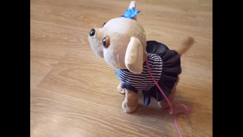 Собачка ЧиЧиЛав на поводке