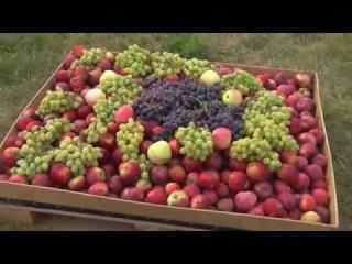 В Саратове возрождают старинный виноградарский регион.