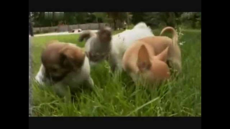 Введение в собаковедение Чихуахуа.wmv