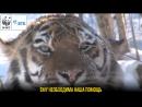 Тигру не выжить без нашей помощи