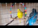 вольер попугаев.волнистые попугаи.мои попугаи.