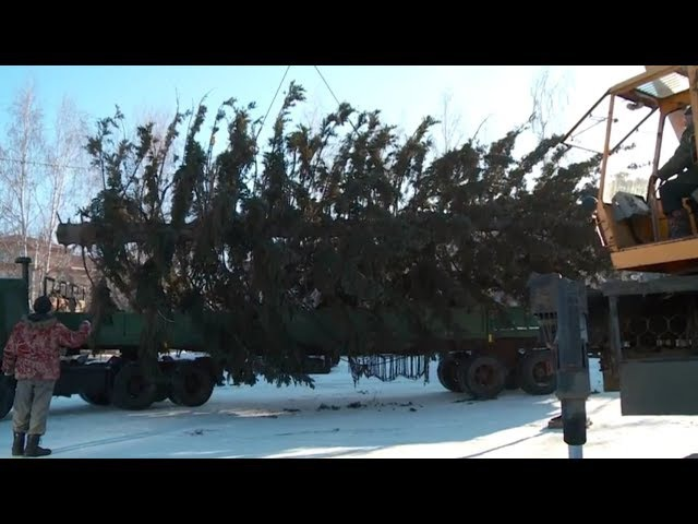 На Петровском бульваре в Бийске установили новогоднюю ёлку (Будни, 30.11.17г., Бийск ...