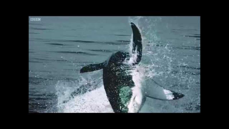 Акулы на охоте.Sharks on the hunt.